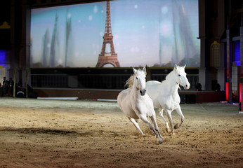 Two beautiful lusitano horses galloping on sand