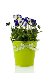 Blue pansy plant in flower pot