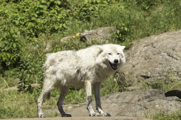 Arctic Wolf in shade