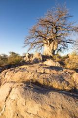 kubu baobab