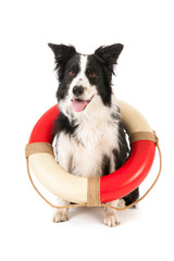 Border collie as rescue dog