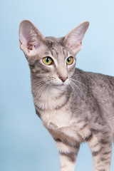 Studio portrait of seal tabby Siamese cat