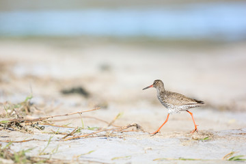 common red shank at the beach