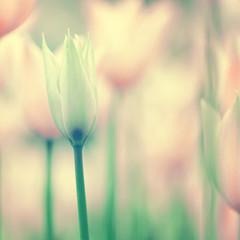 Beautiful gentle tulips background