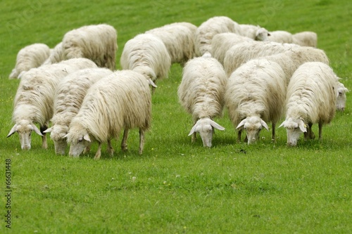 Sheep Pecore al pascolo