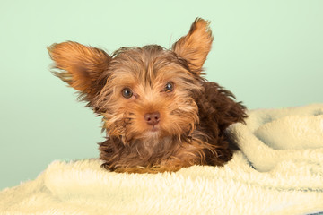 Tired cute little Yorkshire terrier resting on soft yellow bed