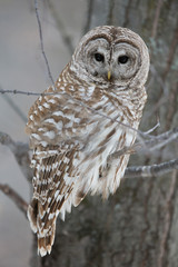 Barred Owl - Looking at Camera