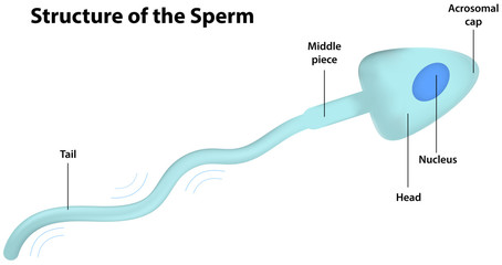 Structure of the Sperm Diagram