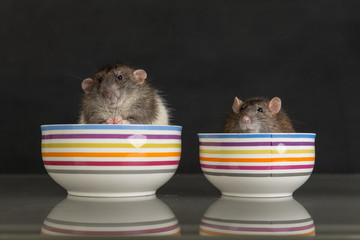 two domestic rats