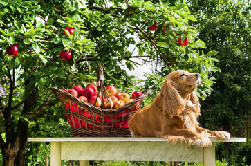 Ripe apples in a basket and a dog