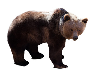 bear over white background