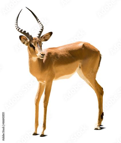 Foto op Canvas Antilope Impala