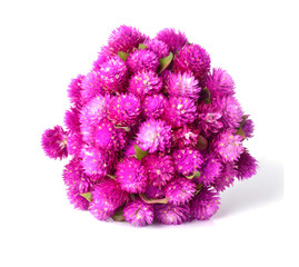 Globe amaranth or Gomphrena globosa isolated on white background