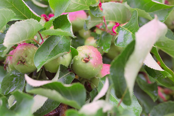 Young apples on the bush