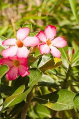 Pink Adenium obesum flowers vertical