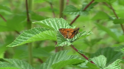 Small Skipper Butterfly Resting On Leaf