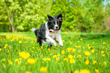 Border collie running on the field with dandelions