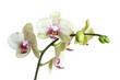 obraz - orchid