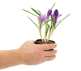Pot with crocuses in the man's hand