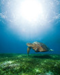 swimming sea turtle in sunlight