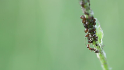 Ant milking aphids on stem