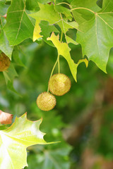 Plane (Platanus) tree, sycamore leaves and fruits