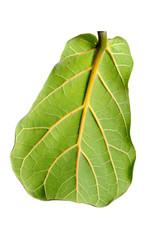 Ficus lirata leaf
