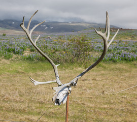 Antlers of a huge Deer