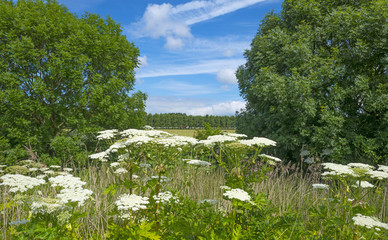 Hogweed growing in nature in spring