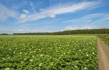 Potatoes growing on a field in spring