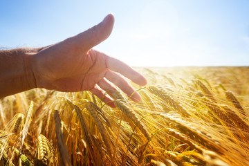 Hand touching wheat ears in a golden field