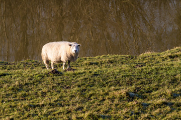 Single sheep in sunlight