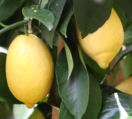 Yellow ripe lemons from Sicily in an orchard
