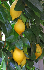 ripe lemons from Sicily in an orchard in Italy