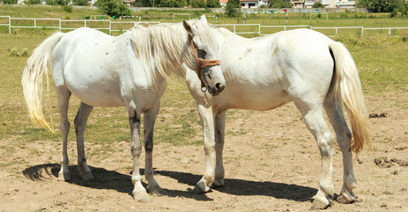 Two white horse in nature on a sunny day
