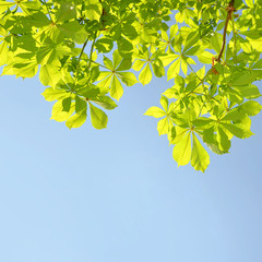 chestnut tree green foliage with blue sky