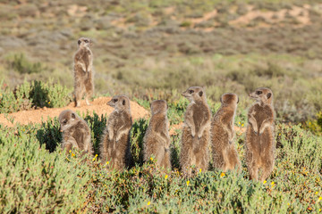 Group of Meerkat in grass