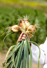 Onion in agronomists hand
