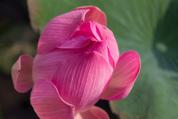 Beautiful pink water lily bud