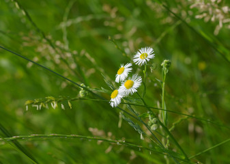 Wild camomile in green grass
