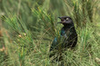 A Long-Tailed Starling (Lamprotornis chalcurus) calling from an
