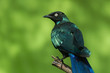 A Long-Tailed Starling (Lamprotornis chalcurus) looking over its