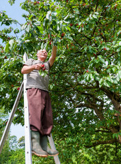Farmer on the stair, collects cherry from the cherry tree