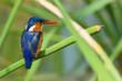 A Malachite Kingfisher (Alcedo cristata) perched on a reed