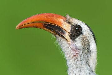 A portrait of a  Western Red-Billed Hornbill (Tockus erythrorhyn