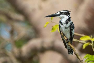 Pied Kingfisher (Ceryle rudis) perched on a baobab branch