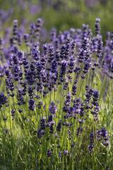 lavender true