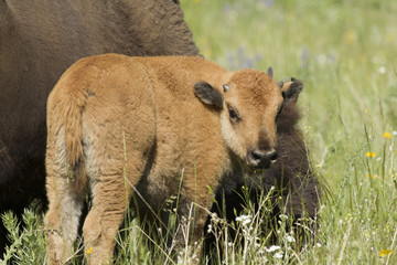 Bison calf by mother.