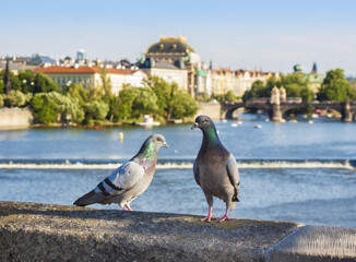 Pigeons on the bridge, Prague in background, Czech Republic.