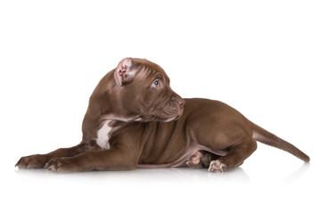 american pit bull puppy with cropped ears